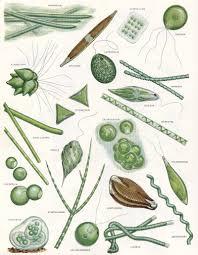 Algae Types